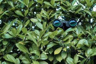 Feldstecher in Hecke versteckt